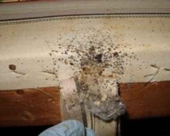 Bed Bugs Inside Mattress