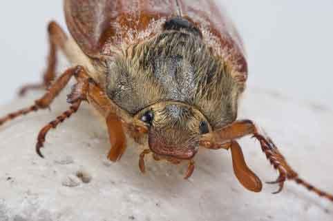 Carpet Bug