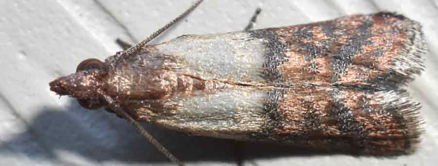 Indian Meal Moths