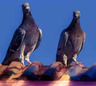 Pigeons Sitting On Ledge