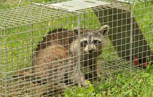 Raccoon In Havahart Trap