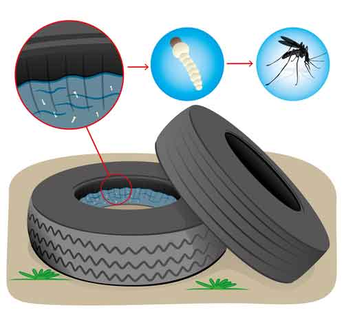 Mosquitoes Breeding Inside Of Tire