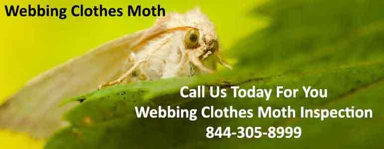 Webbing Clothes Moth
