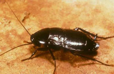Oriental Cockroach