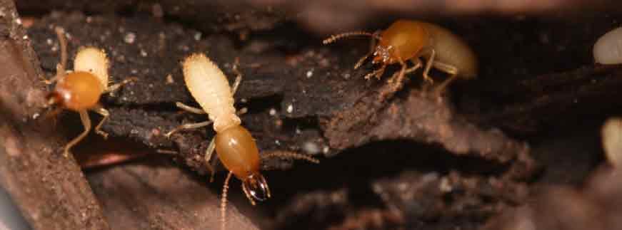 Soldier Termites