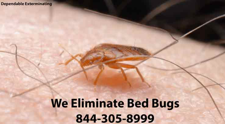 Bed Bug